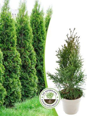 Saterplant Heckenpflanzen: Lebensbaum 'Smaragd' - Thuja occidentalis 'Smaragd'